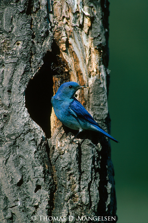 Mountain bluebird perches on the edge of its nesthole.