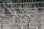 Ice encrusted wire apple orchard fence.