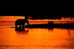 Sunset finds a brown bear wading near the beach in Katmai National Park, Alaska.