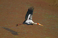 Painted Stork, Mycteria leucocephala, in flight, Bharatpur, Keoladeo N.P. India