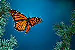 Monarch Butterfly, Danaus plexippus, in flight, high speed photographic technique, flying through pine tree blue sky background.Mexico....