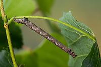 Graugelber Breitflügelspanner, Breitflügel-Spanner, Raupe frisst an Linde, Agriopis marginaria, dotted border, caterpillar, l'Hibernie hâtive, Spanner, Geometridae, looper, loopers, geometer moths, geometer moth