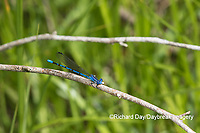 06084-00109 Springwater Dancer (Argia plana) in fen Washington Co. MO