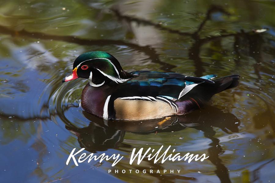 Wood Duck on Pond with Tree Reflection, (Aix Sponsa), Birds, Florida, FL, America, USA.