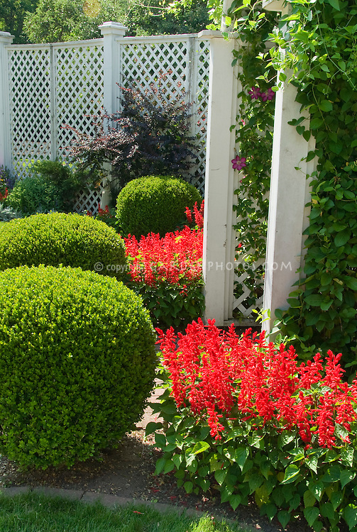 Hot colored Salvia annual flowers with trimmed topiary boxwood shrubs Buxus, with tall white fence and climbing vine Clematis