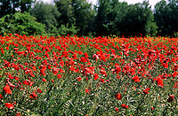 Klatsch-Mohn, Klatschmohn, Mohn, auf einem Getreide-Acker, Papaver rhoeas, Corn Poppy, Field Poppy