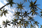 Looking up at palm trees and blue sky, Mirissa, Sri Lanka, Asia