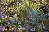 Bismarckia nobilis, Bimarck Palm among succulents in Patrick Anderson Garden