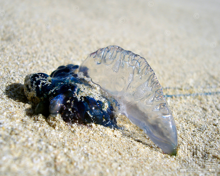 Close up of Jelly fish on Kailua beach, Oahu, also known as Portuguese man o' war