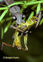 1M15-055z  Praying Mantis adult consuming insect prey - Tenodera aridifolia sinenesis