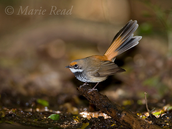 Rufous Fantail (Rhipidura rufifrons), at a water pool on the forest floor, Lamington National Park, Queensland, Australia. Cropped from original.