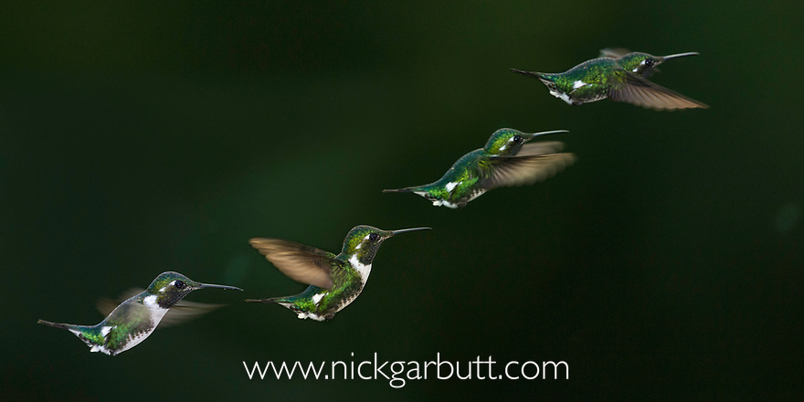 White-bellied Woodstar (Chaetocercus mulsant). In flight sequence at Jardin Encantado (The Enchanted Garden), mid-elevation Andes, outside Bogota, Colombia. (composite image)