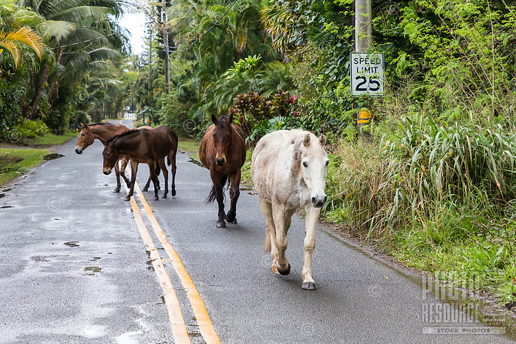 High traffic zone: Horses join the morning commute at Ha'ena, on Kauai's North Shore during flood road closure.