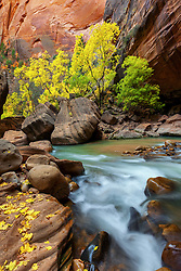 As Autumn ends, colorful yellow leaves remain on the banks of the Virgin River Narrows.