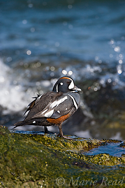Harlequin Duck (Histrionicus histrionicus), male in breeding plumage, on a rock with crashing waves, New Jersey, USA