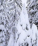 USA, California, Sierra Nevad Mountains.   Snow covered trees in the Sierras.