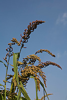 A Barnyard Millet tree grows in the Navdanya farm in Dehradun, Uttarakhand, India, on 6th September 2009. This year, despite the late arrival of monsoon and the lessened rainfall, the Barnyard Millet have grown about 2 feet taller than past years...Dr. Vandana Shiva, the founder of Navdanya Foundation and Bijavidyapeeth, is a physicist turned environmentalist who campaigns against genetically modified food and teaches farmers to rely on indigenous farming methods.. .Photo by Suzanne Lee / For The National