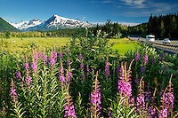 Fireweed and the Chugach National Forest from along the Seward Highway, Kenai Peninsula, Alaska