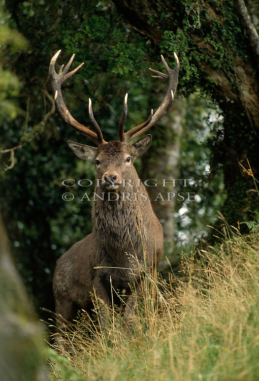 Red Deer Stag. in the Manawatu/Whanganui area. New Zealand. Vertical Format.