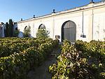 Grapes growing in vineyard at Gonzalez Byass bodega, Jerez de la Frontera, Cadiz province, Spain