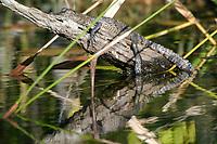 baby Morelet's crocodile, Belize, Caribbean, Atlantic crocodile, or Central American crocodile, Crocodylus moreletii, basking on branch, Cabbage Hole Creek, Stann Creek District, Belize, Caribbean, Atlantic, Central America, Caribbean, Atlantic