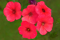 168210008 closeup of brilliant red drummonds phlox phlox drummondii wildflowers in de witt county texas