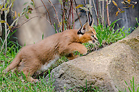 Young Caracal Kitten (Caracal caracal) stalking.  Caracals are found in Africa to Central Asia and India.