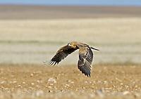 Spanish Imperial Eagle - Aquila adalberti