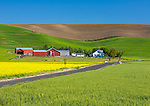Whitman County, WA      <br /> Country road leads to a farmstead and field of yellow mustard under rolling hills in the Palouse near Dusty, WA