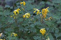 Gelber Lerchensporn, Scheinlerchensporn, Pseudofumaria lutea, syn. Corydalis lutea, Yellow Fumitory, Corydale jaune