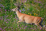 Whitetail buck in a field of wildflowers in Montana