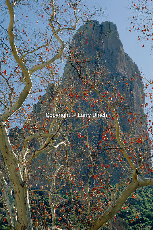 Arizona sycamore<br />