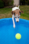 Jack Russell Terrier and Wading Pool with Tennis Ball