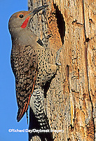 1193-007.09 Northern Flicker (Colaptes auratus) (Red-shafted) at nest site   OR