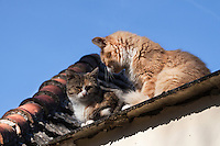 two cats,one tabby colored one red and white, sunbathing on a sunny roof top with the blue autumn sky as backdrop, part of the roof showing