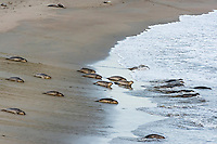 "Northern Elephant Seal (Mirounga angustirostris) pups (often called a ""weaners"") leaving the beach in the evening to spend much of the night practicing their swimming skills in the ocean.  Central California coast."