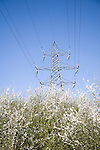 Electricity pylon carrying high voltage wires through blue sky over spring blossom on bushes, Suffolk, England