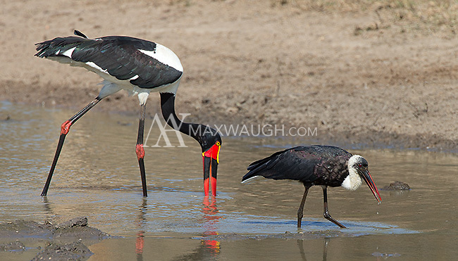 The woolly-necked stork (right) and saddle-billed stork, side-by-side.