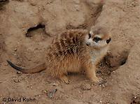 0215-08nn  Meerkat, Suricata suricatta © David Kuhn/Dwight Kuhn Photography