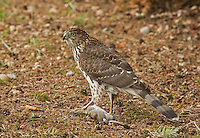 This juvenile Cooper's hawk stands on the ground clutching a baby rat which it had just captured.<br /> Woodinville, Washington<br /> 10/17/2013