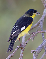 Adult male lesser goldfinch, Texas form