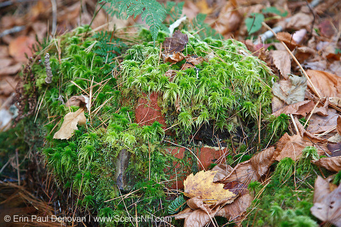 Moss covered bricks in the area of the Passaconaway Settlement in Albany, New Hampshire USA. This area was the center of operations for the Swift River Railroad, which was a logging railroad in operation from 1906-1916.