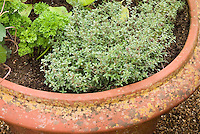 Container garden in terracotta clay potwith herbs thyme (culinary Thymus vulgaris), nasturtium, parsley