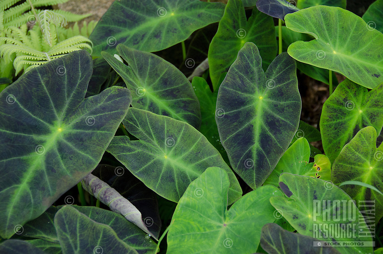 Several deep green and purple taro (or kalo) leaves in a garden on the Big Island.