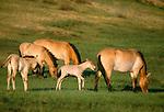 Przewalski's wild horses or Takhi, Gorkhi-Terelj National Park, Mongolia