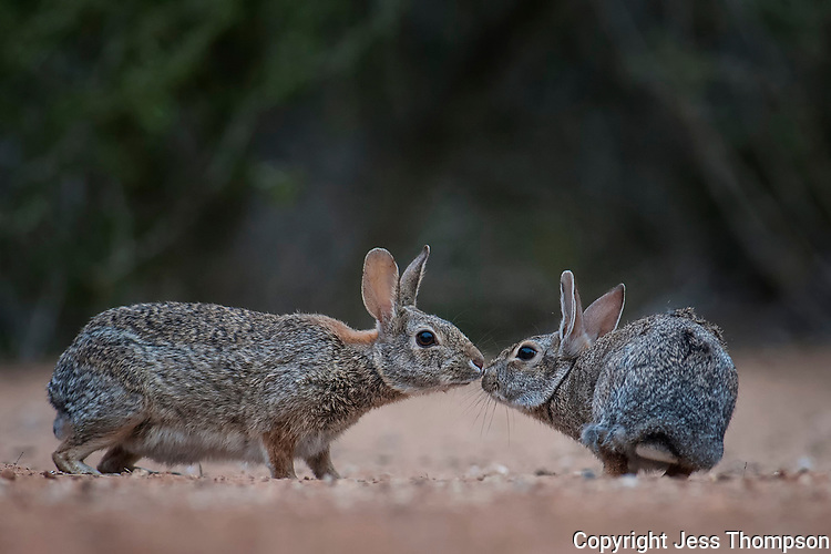 Cottontail Rabbits, Santa Clara Ranch, South Texas
