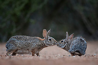 Cottontail Rabbits, Santa Clara Ranch, South Texas