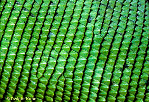 1R10-057b   Iguana - close-up of scales, from Central America - Iguana iguana