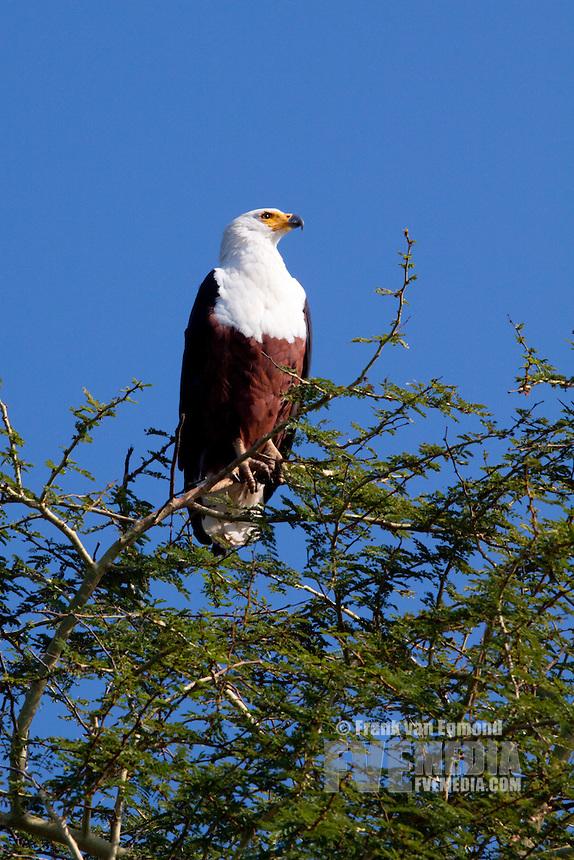 African Fish Eagle (Haliaeetus Vocifer)..Nyamithi pan..May, Winter 2009..Ndumo Game Reserve, Kwazulu-Natal, South Africa.