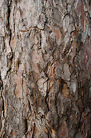 Scotch Pine 'Pinus sylvestris L.' bark